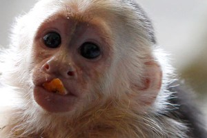 главный консерн обезьяны